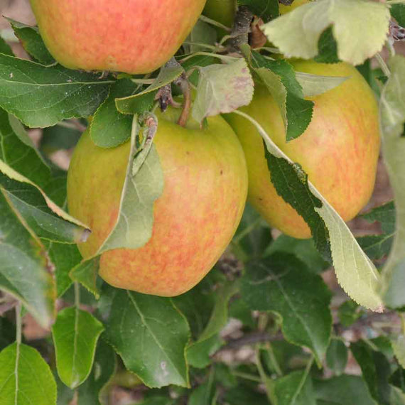 Buy a Royal Gala Apple Tree