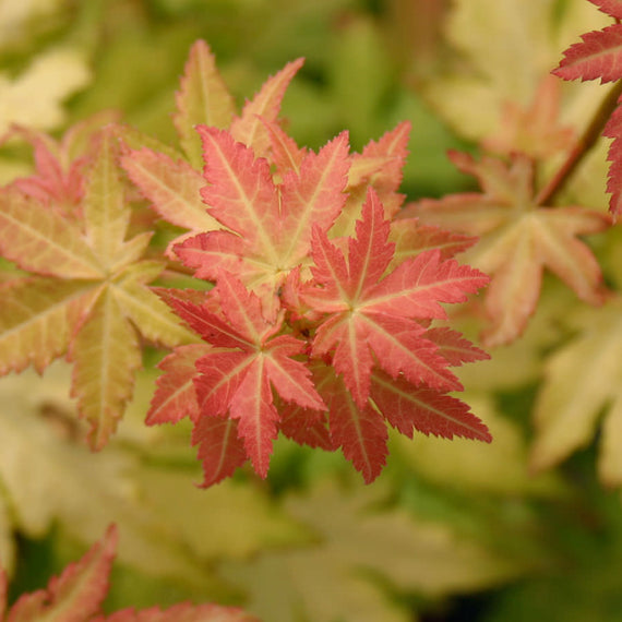Acer Orange Dream Leaves