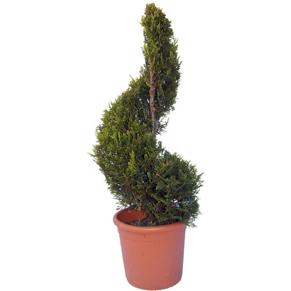 Spiral Topiary Trees Online