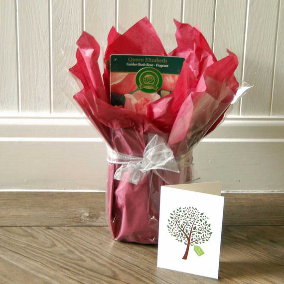 Queen Elizabeth Rose Gift Wrapped (winter foliage)