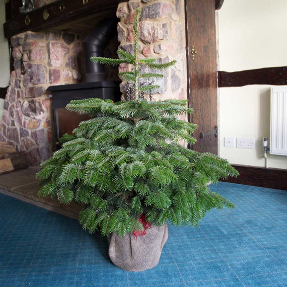 4ft Pot Grown Nordmann Fir Christmas Tree