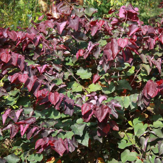 Buy a Cercis canadensis 'Forest Pansy'
