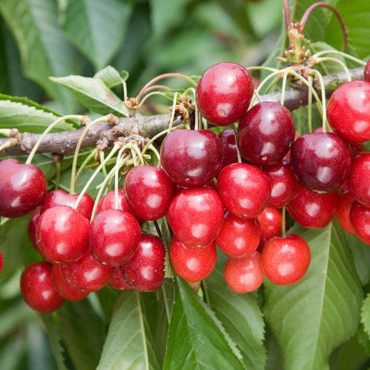Buy a Cherry (Prunus) Stella