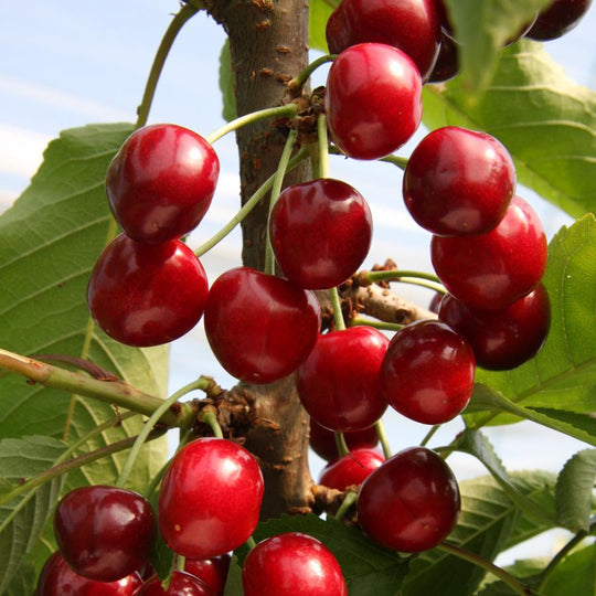 Buy a Cherry (Prunus) Sunburst