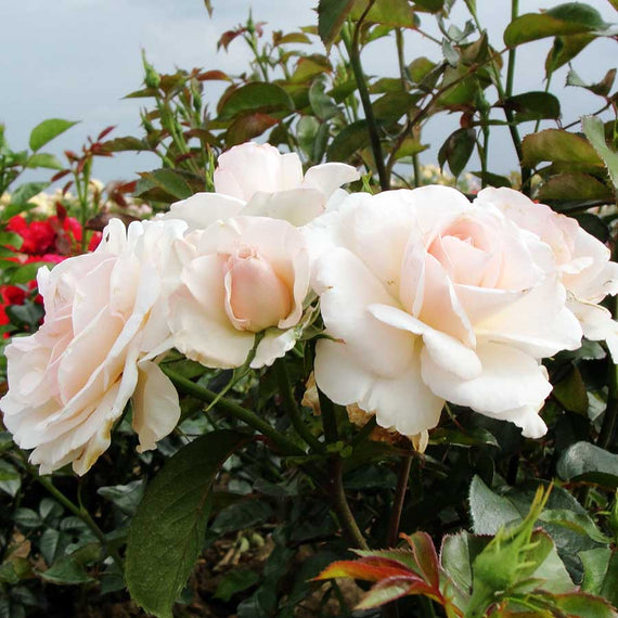 Buy a Congratulations Rose Bush