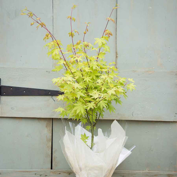 The striking Summer Gold Japanese Maple Tree Gift