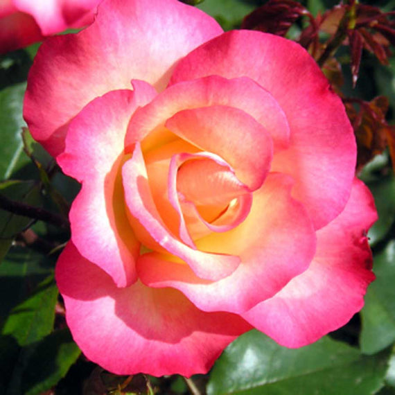 Buy a Birthday Girl Rose Bush