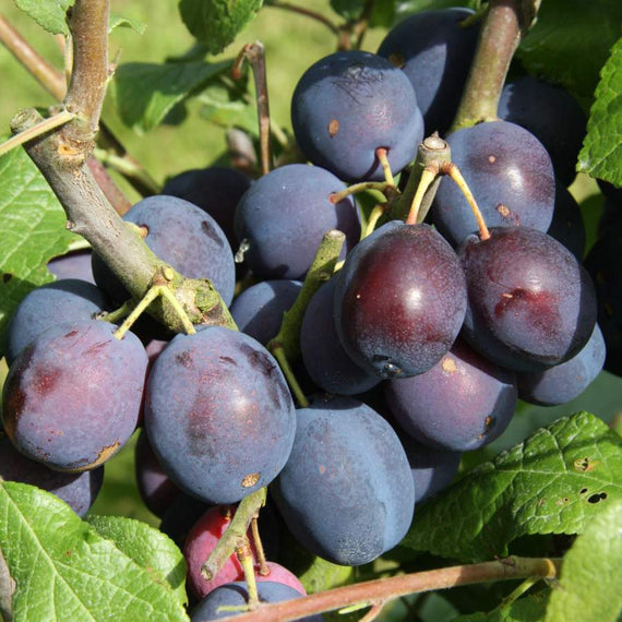 Buy a Damson (Prunus) Merryweather Tree