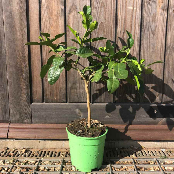Buy a Dwarf Kaffir Lime Tree