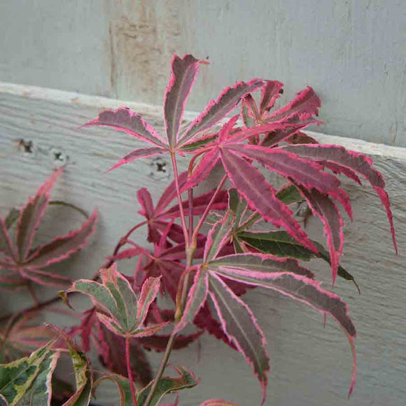 Dark Red leaves of the Shirazz Japanese Maple Tree Gift