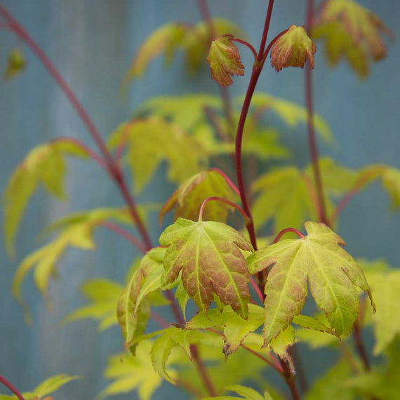 Bright golden green leaves