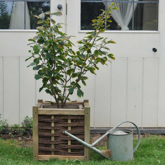 Witch Hazel Trees for Sale