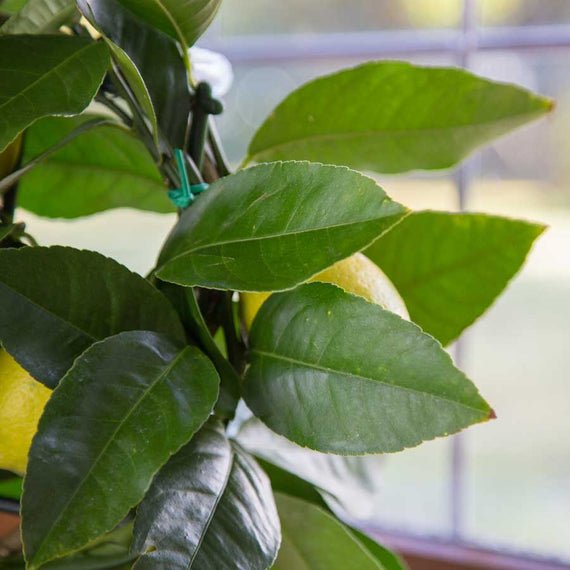 Mini Lemon Tree Foliage