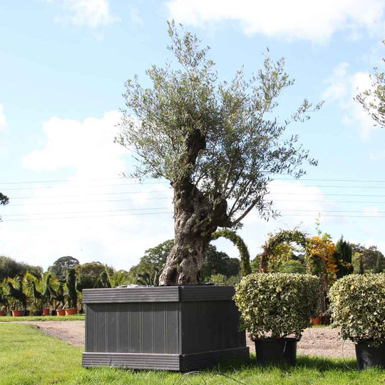 Buy Mature Olive Tree