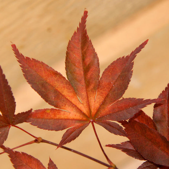 Fireglow Maple Leaves