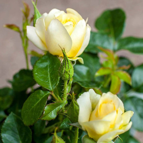 Best of Luck Rose Bush Gift
