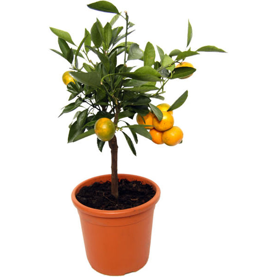 Buy an Orange Tree