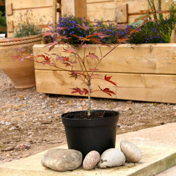 Fireglow Japanese Maple in Pot