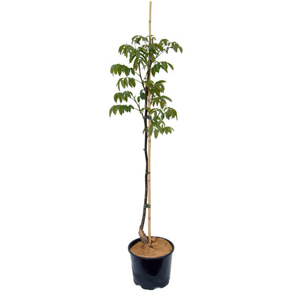 Buy a Lara Walnut Tree
