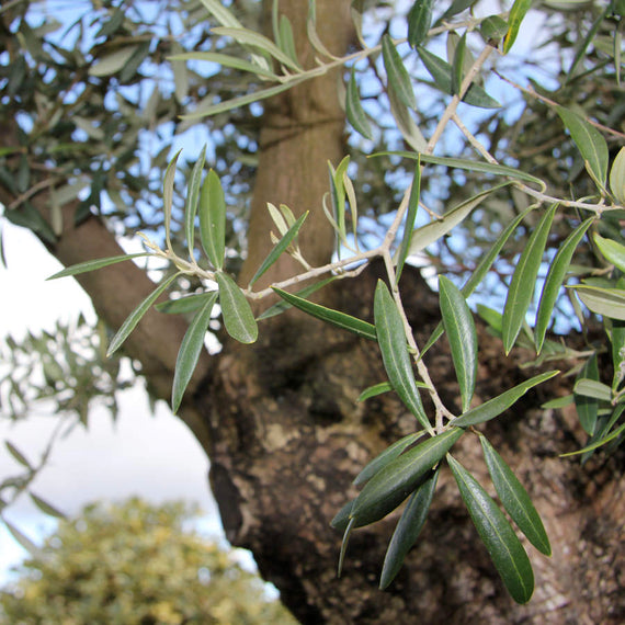 Old Olive Tree for Sale