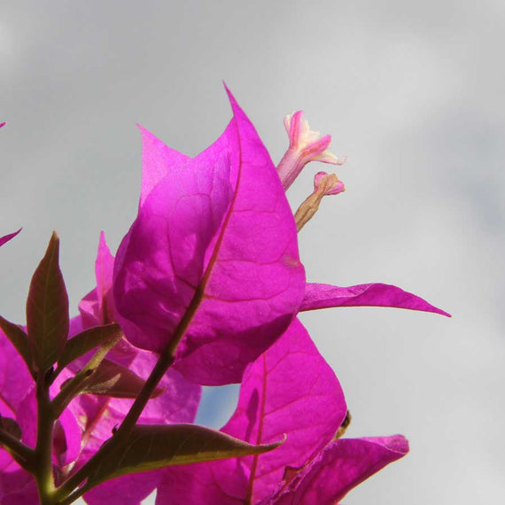 Pink Bougainvillea Leaves