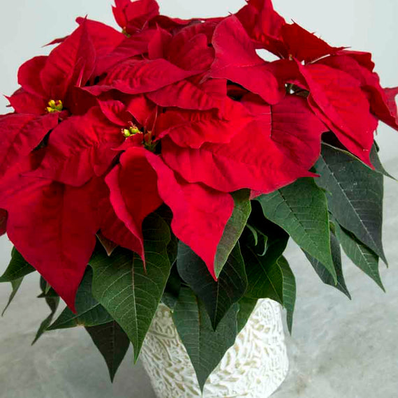 Red Foliage of Festive Poinsettia