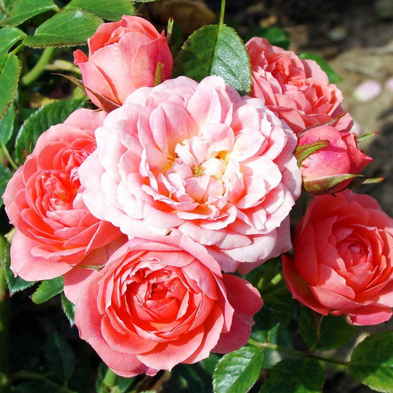 Many Happy Returns rose bush in 2 litre pot British grown FREE DELIVERY over £20