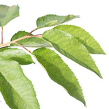 Buy a Sunburst Cherry Tree Online