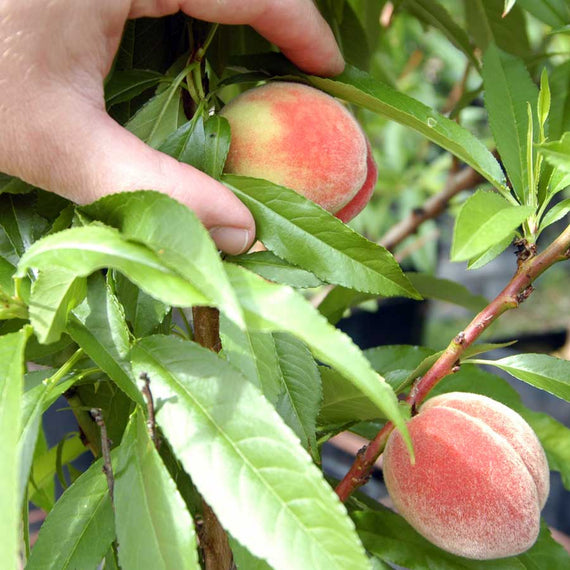Grow Your Own Peaches
