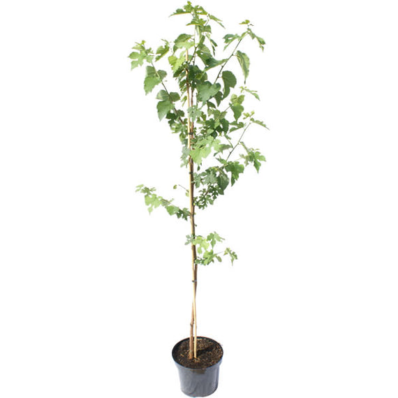 Mulberry Bush Gift