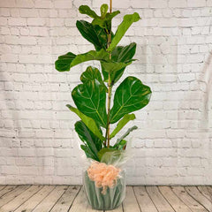 Fiddle Leaf Fig Tree Gift