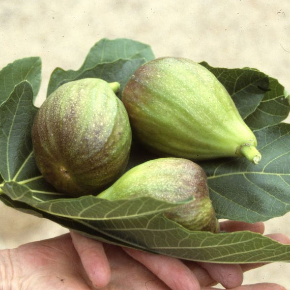 Fig (Ficus) Brown Turkey for Sale