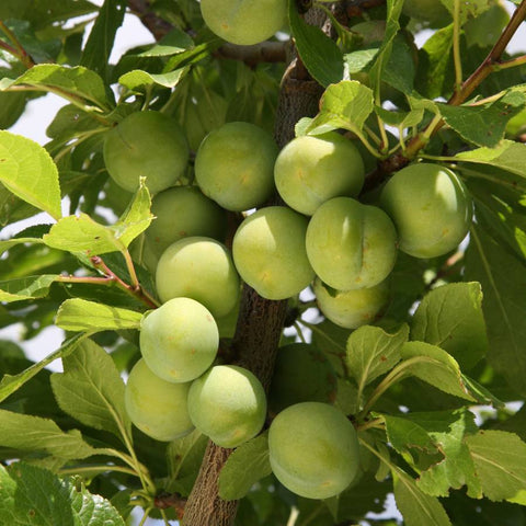Dwarf Plum Trees for Sale