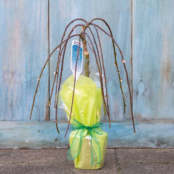 Small Weeping Willow Tree Gift