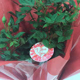 Gift Wrapped I Love You Patio Rose Bush