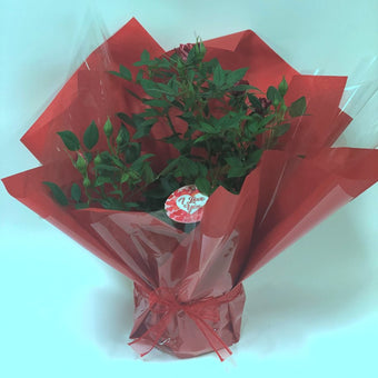 I Love You Patio Rose Gift