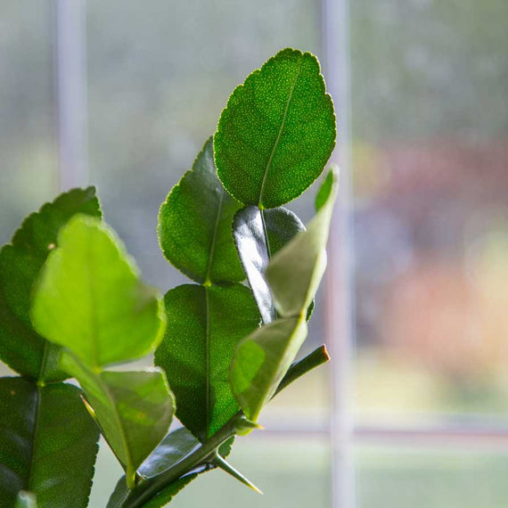 Kaffir Lime Tree Leave - Use in Thai Cooking