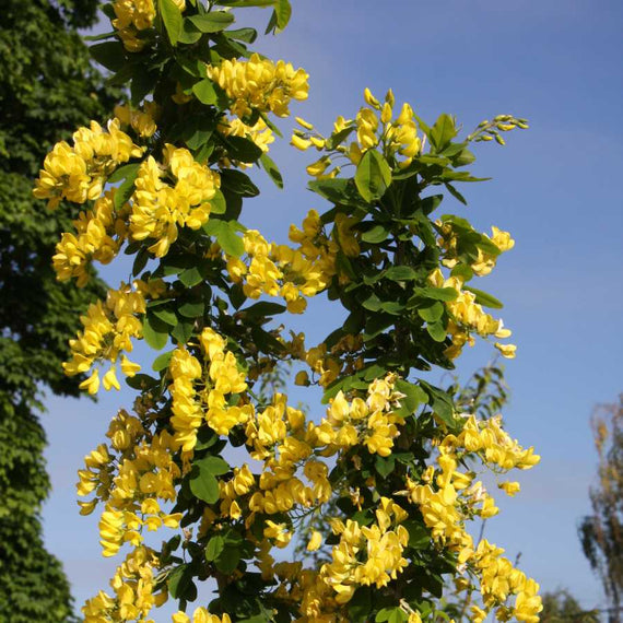 Laburnum anagyroides Yellow Rocket for Sale