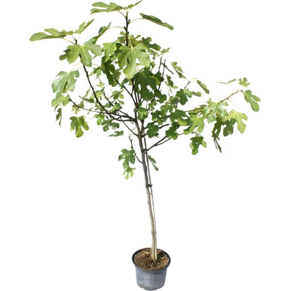 Send a Large Fig Tree as a Gift