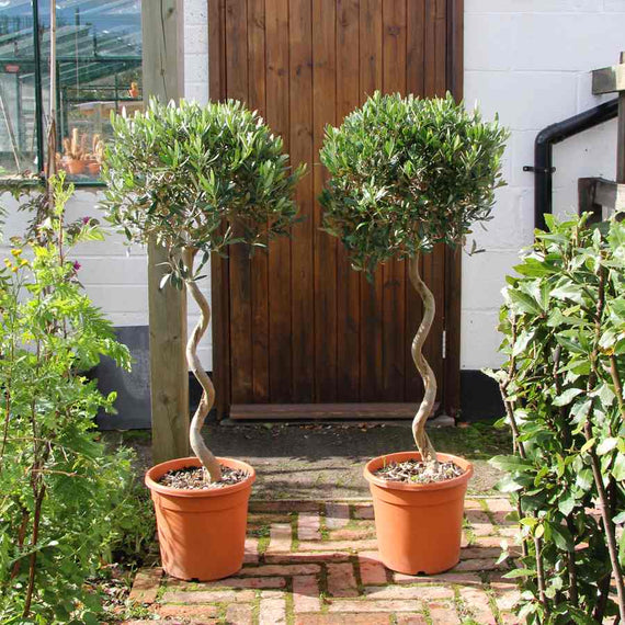 Order Large Twisted Olive Trees Online
