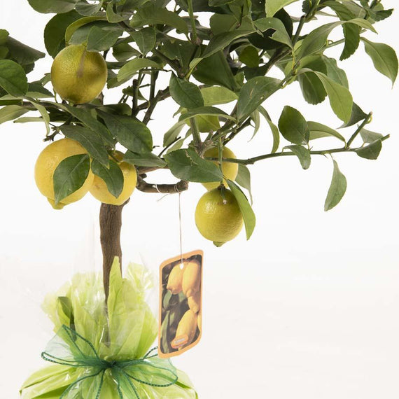 Order Lemon Trees for Delivery