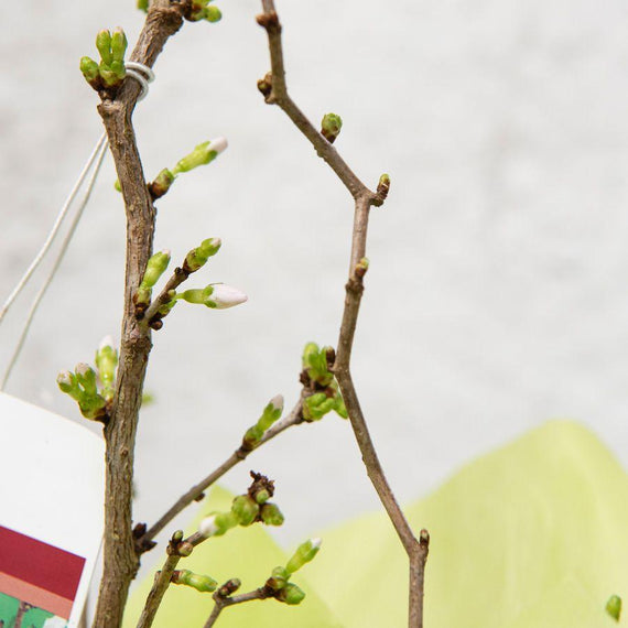 Order a Mini Cherry Blossom Tree