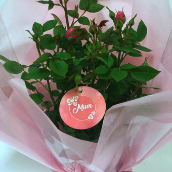 Gift Wrapped Mum Patio Rose Bush Gift