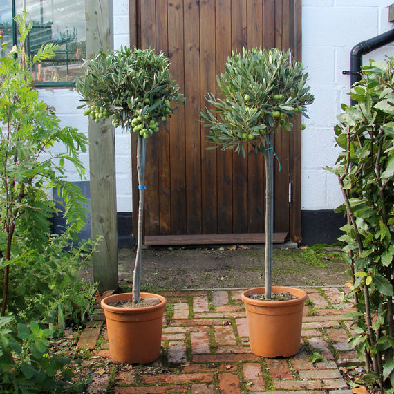 Large Pair of Olive Trees for Sale