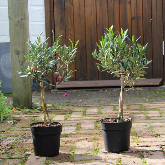 Buy a Pair of Small Olive Trees