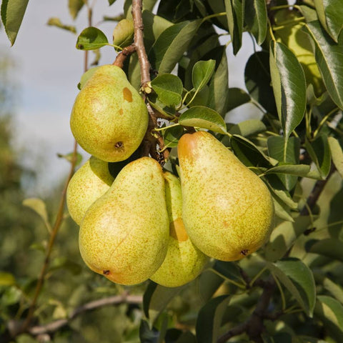 Pear Trees for Sale