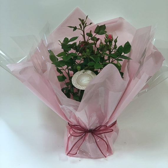 Pearl Anniversary Patio Rose Gift