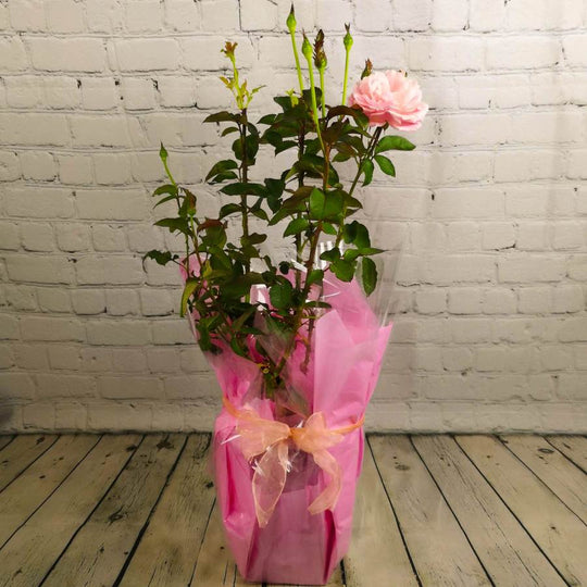 Pink Celebration Roses for Sale