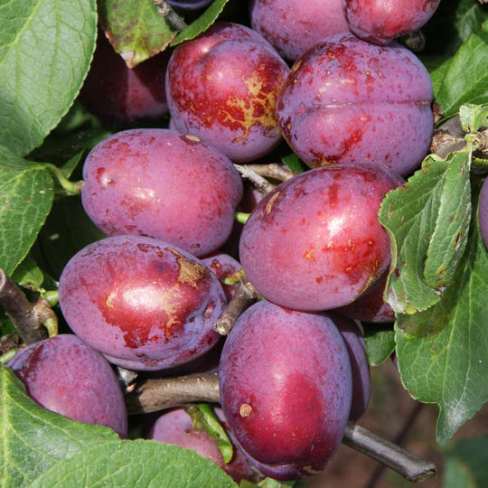 Jubilee Plum Tree