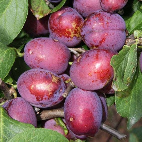 Buy a Plum (Prunus) Jubilee